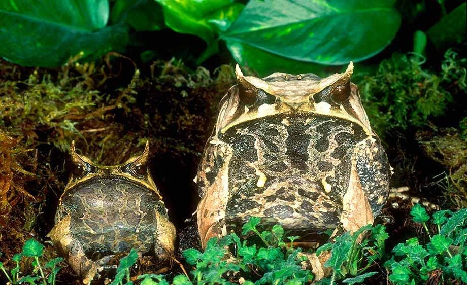 Mallaysian Leaf Frog