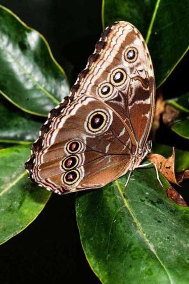 Common Morphos Butterfly