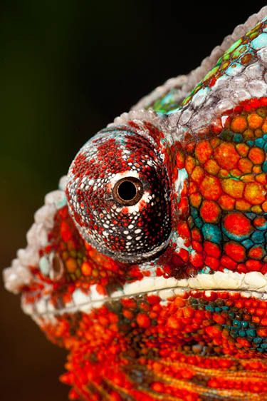 Panther Chameleon (Male)