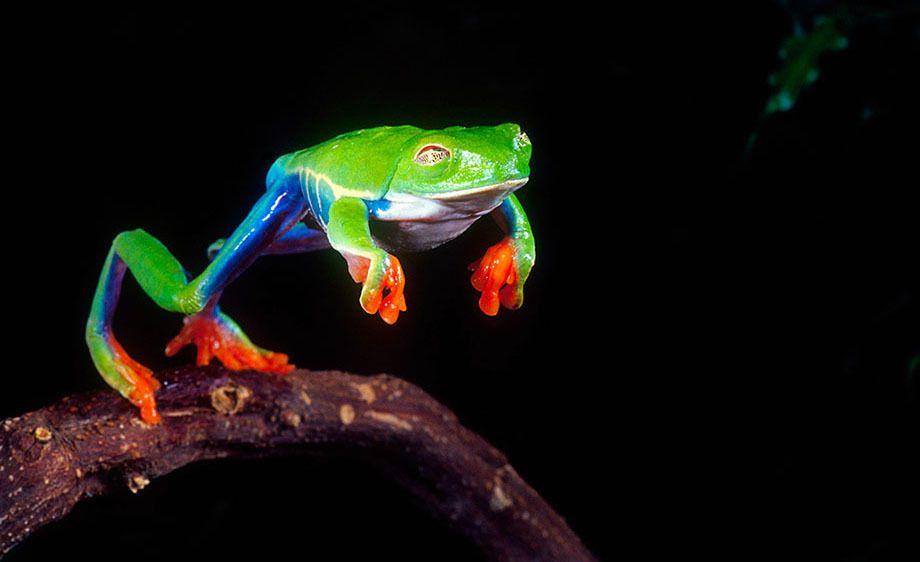 Red Eye Treefrog