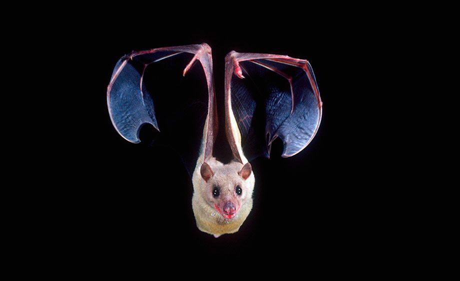 Nile Rousette Fruit Bat