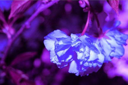 1_0_327_1purple_hanging_flower.jpg