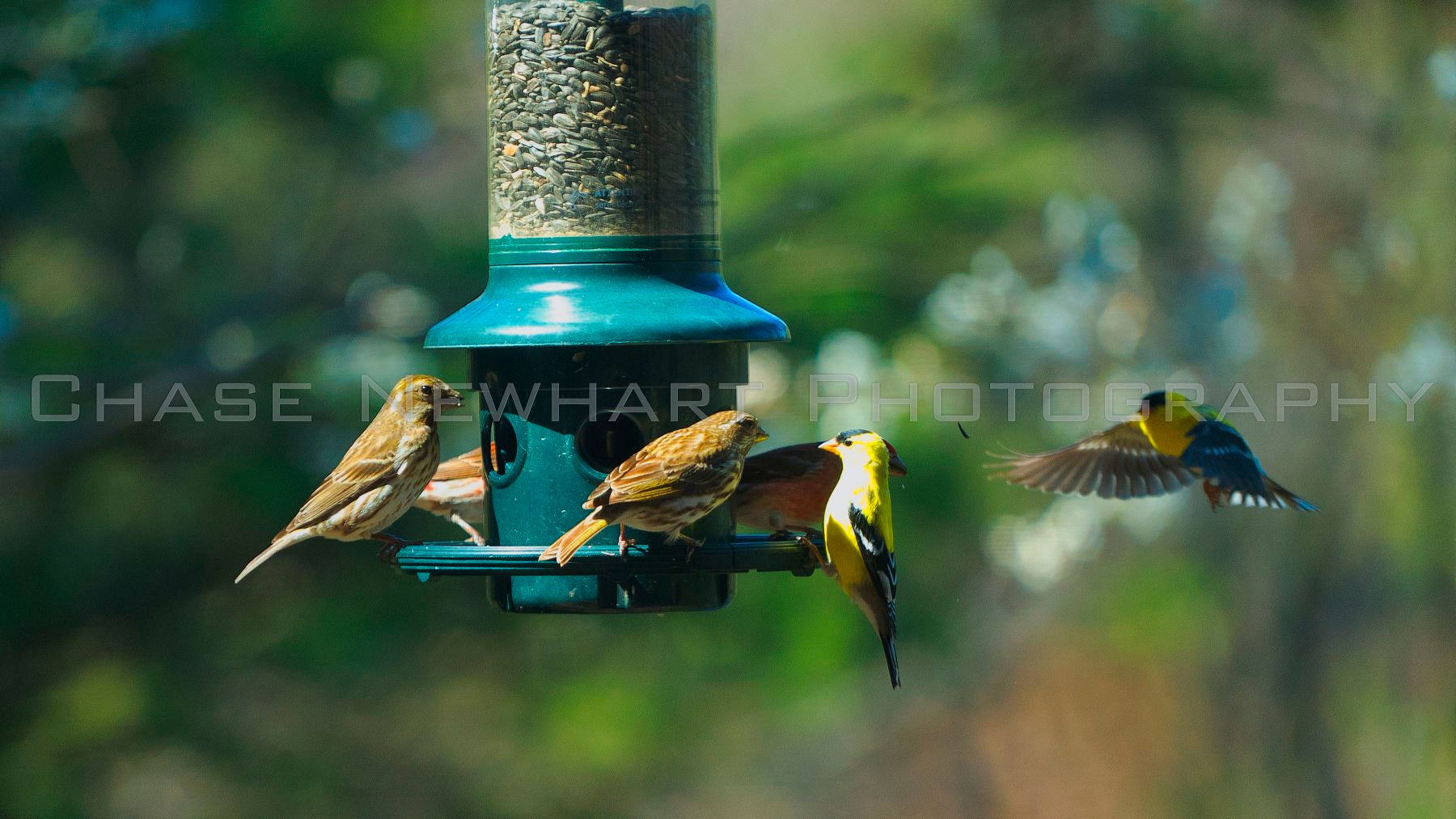 1yellow_birds_2571.jpg