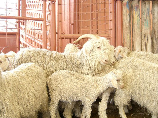 1Angora_for_Mohair___San_Angelo__Texas_