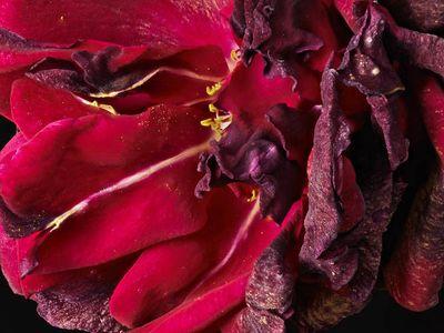 Rose Red & Violet Close