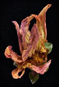 Dahlia-Dry, multihued