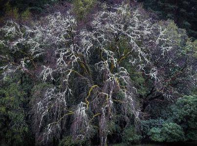 Fall TreesMendocino, California