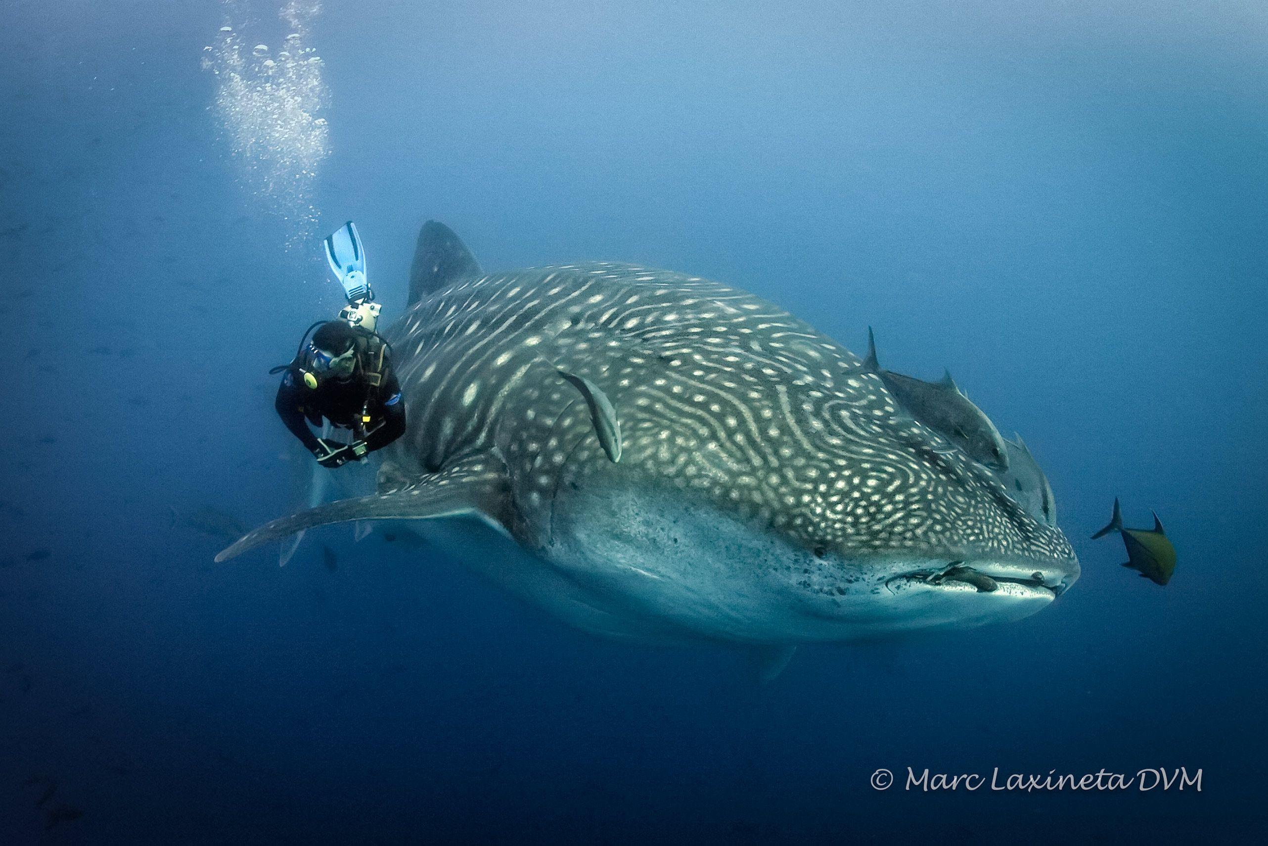 WhaleSharkDarwin.jpg