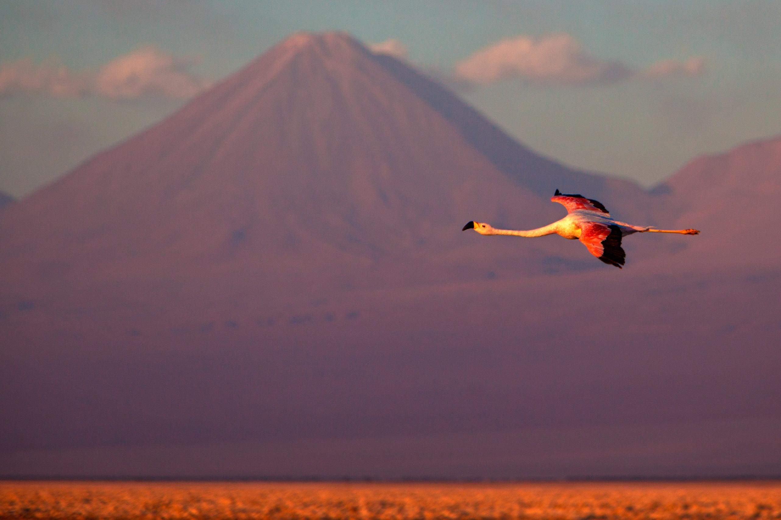 AtacamaFlamingo.jpg