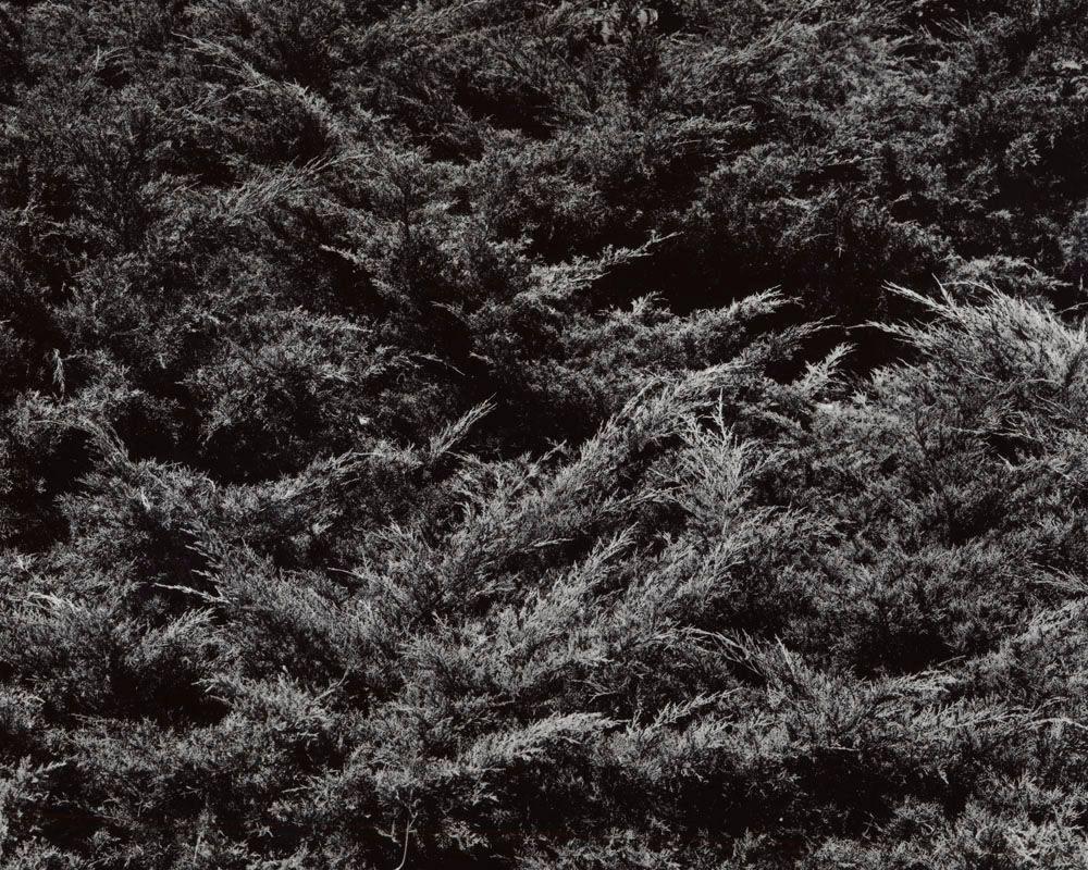 1pfitzer_juniper_juniperus_chinensis_pfitzeriana_2