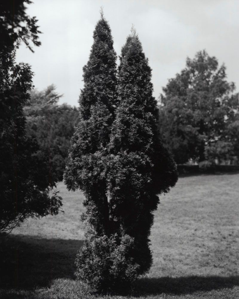 1eastern_arborvitae_thuja_occidentalis_north_america