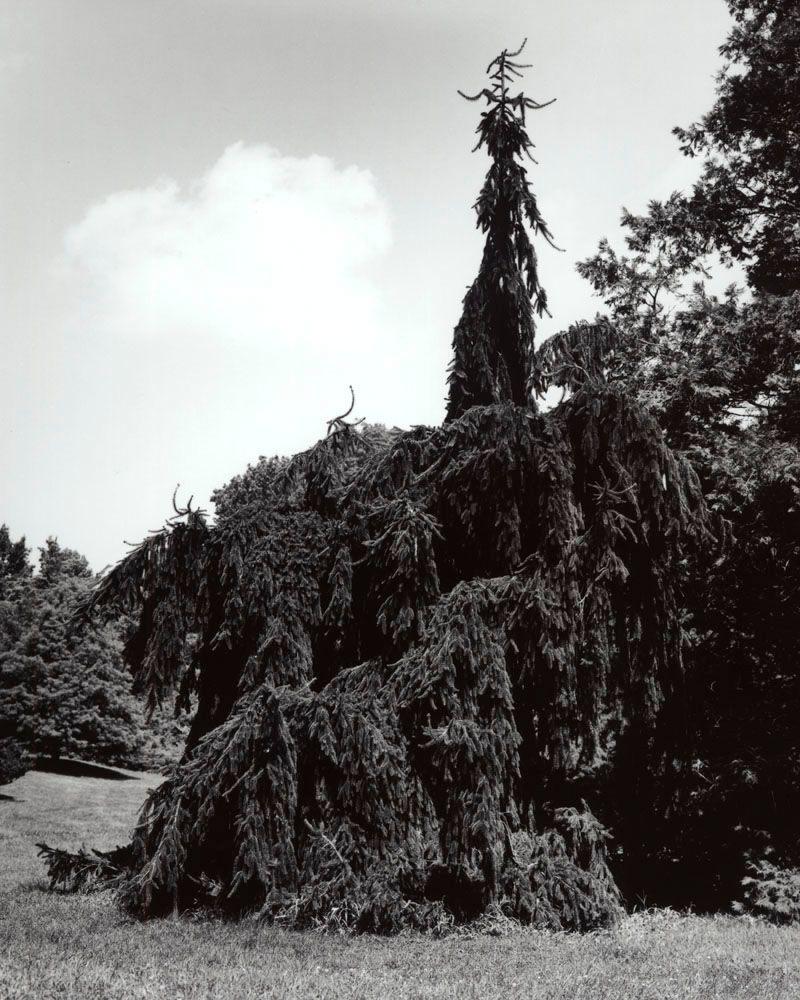 1pendula_weeping_norway_spruce_picea_abies_pendula_2
