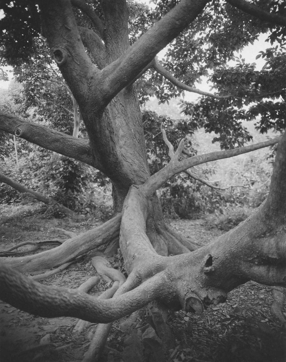 1kobus_magnolia_magnolia_kobus_japan_2