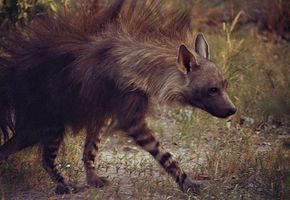 Brown hyena (very rare)