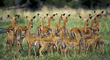 Impala herd sheltering the young