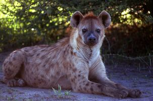 Spotted hyena resting in the shade