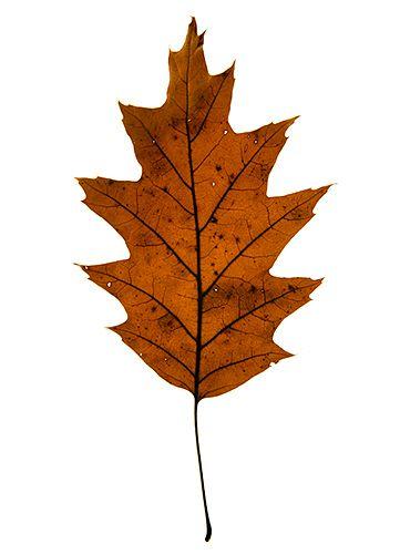 1oak_leaf.jpg