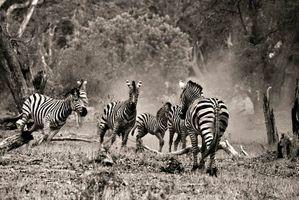 Lively zebra