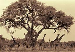 1Giraffe_Herd_under_Acacia.jpg