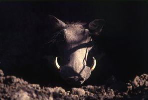 Warthog in den