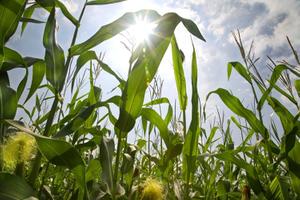 Corn Field, Lambertville, NJ