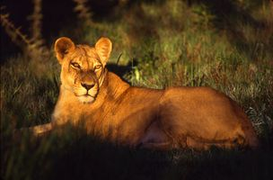 Lioness at Mombo