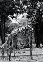 Giraffe with calf