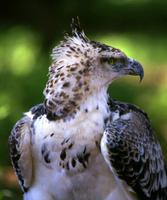 Martial eagle (young)