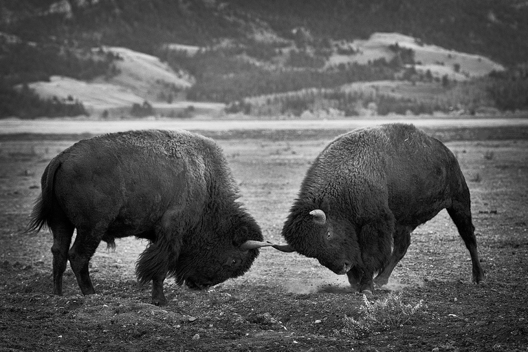 Jackson Hole Bison_01