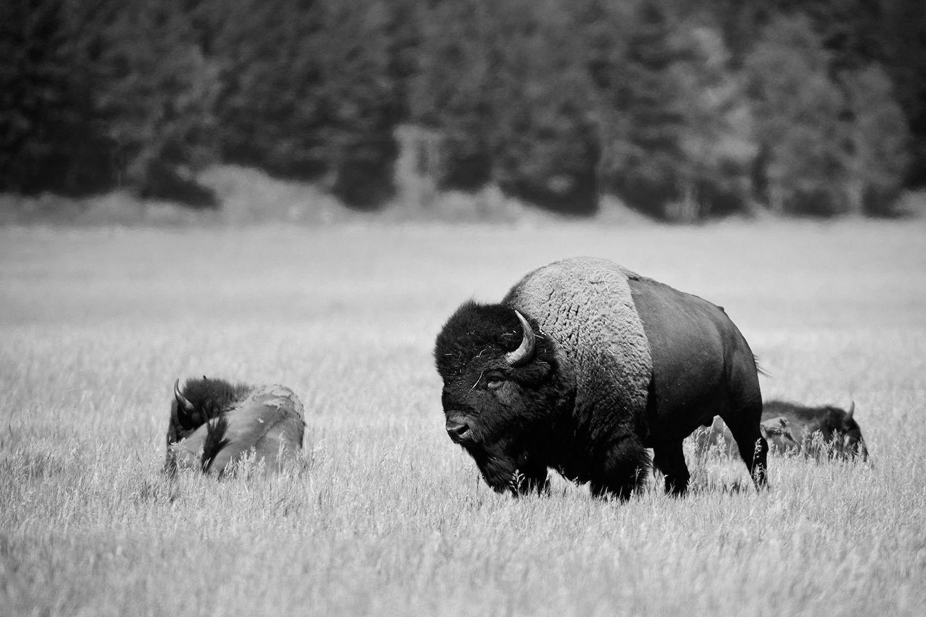 Jackson Hole Bison_03