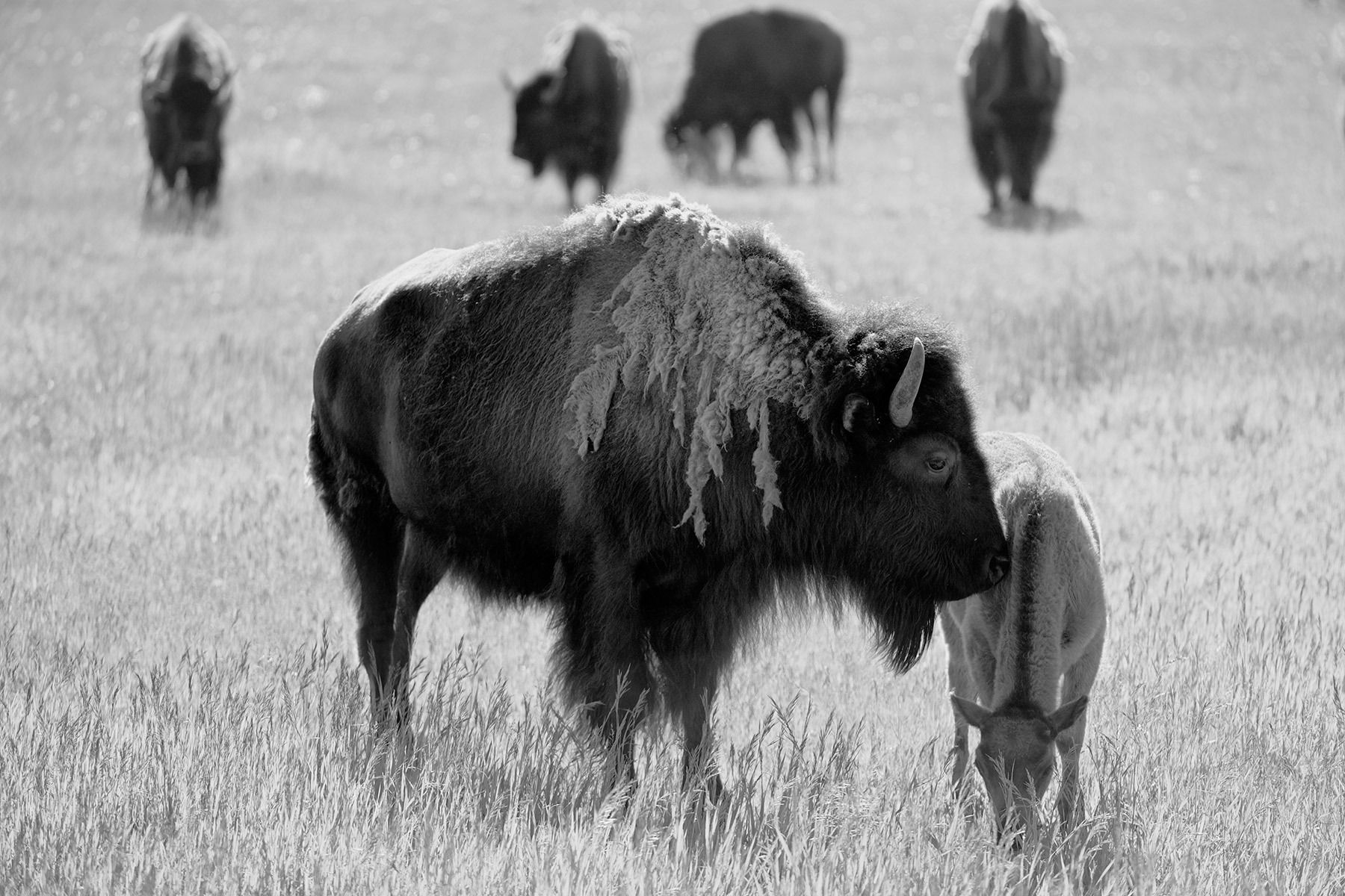 Jackson Hole Bison_04