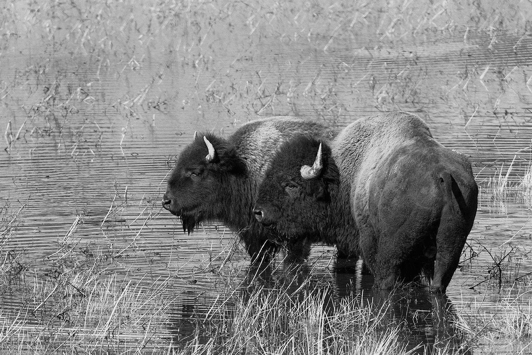 Yellowstone Bison_01