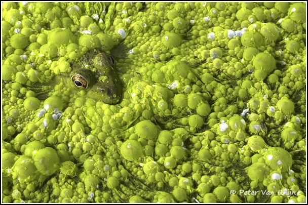 Frog in Cyanobacteria
