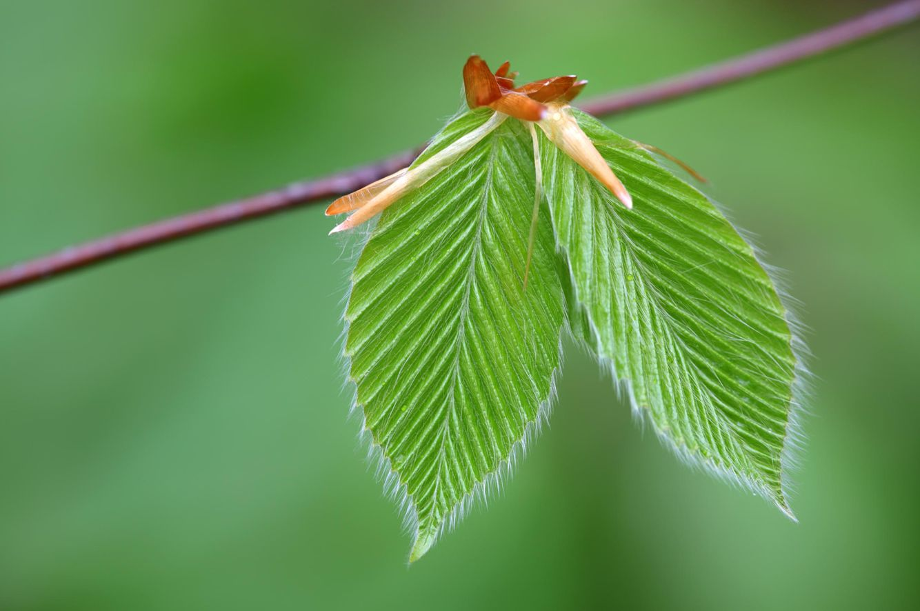 Beech-Leaves.jpg