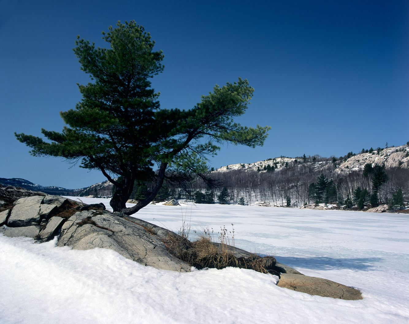 White Pine in Winter