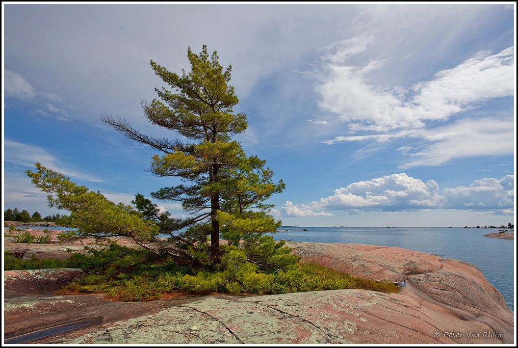 Philip Edward Island White Pine