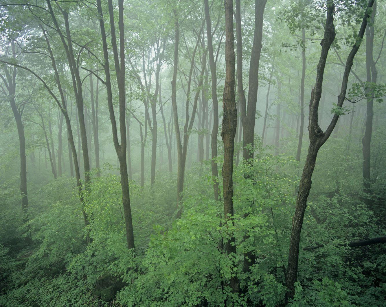 Carolinian Forest in Fog