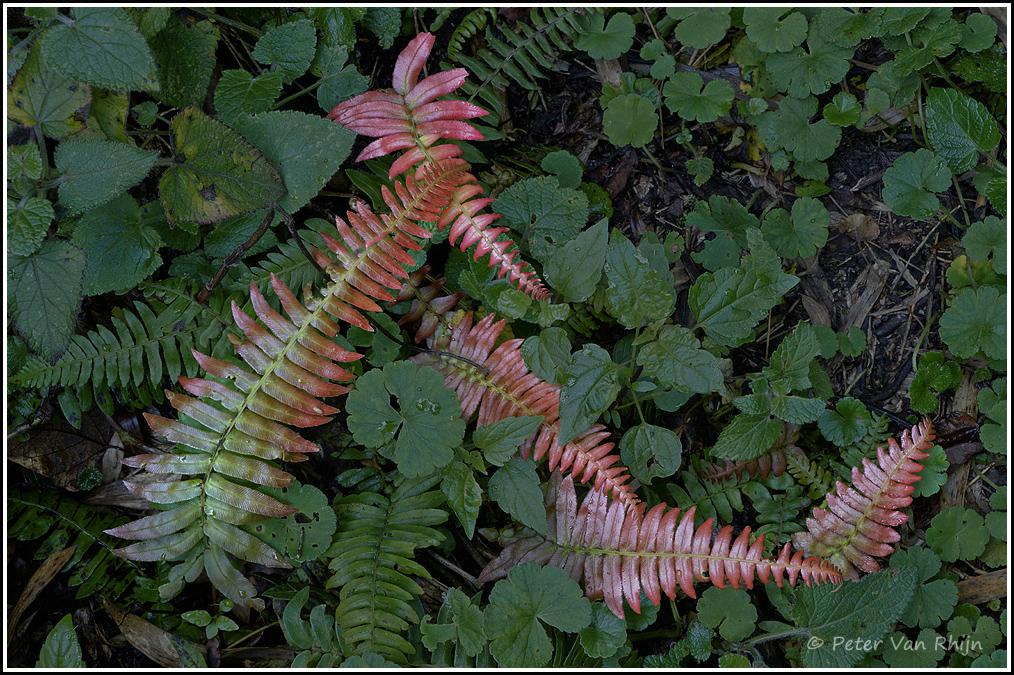 Ecuador Ferns