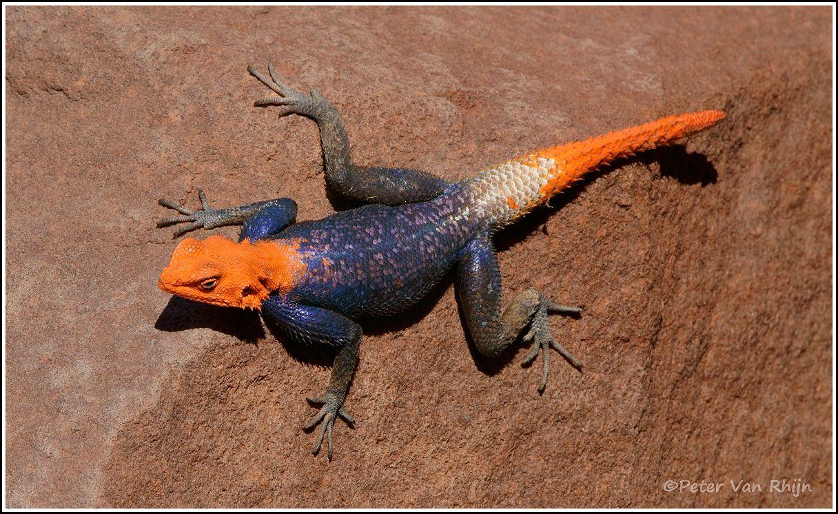 Agama Agama Lizard