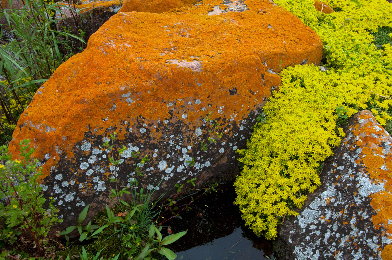 Marine Lichen and Stonecrop