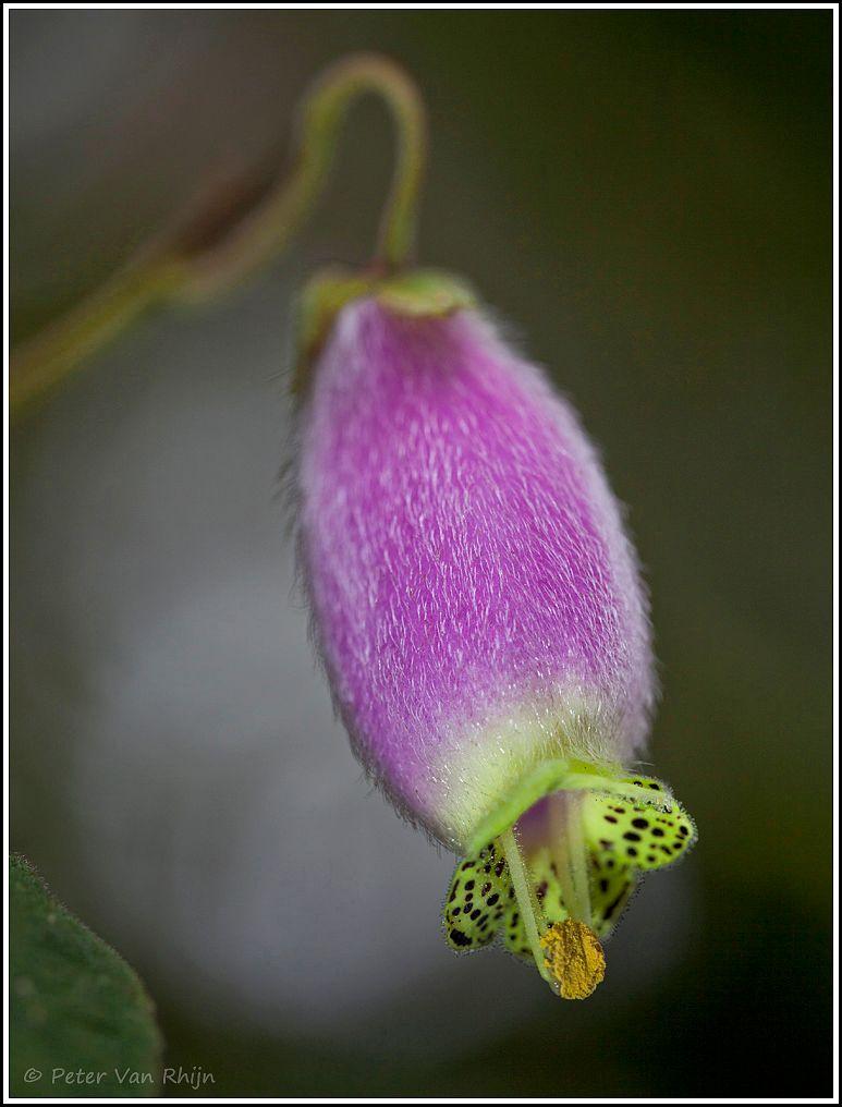 Bellavista Flower