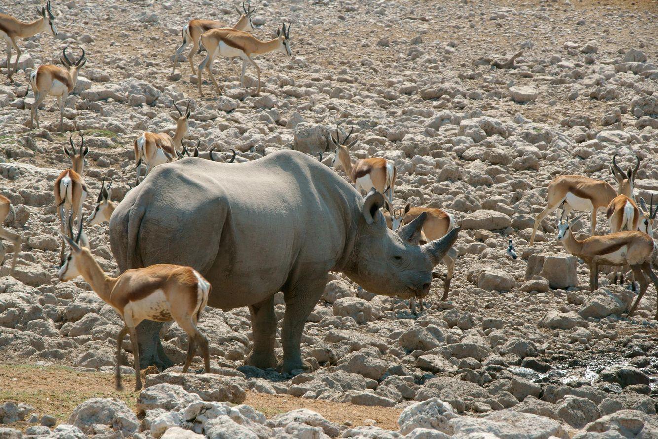 Rhino and Springbok