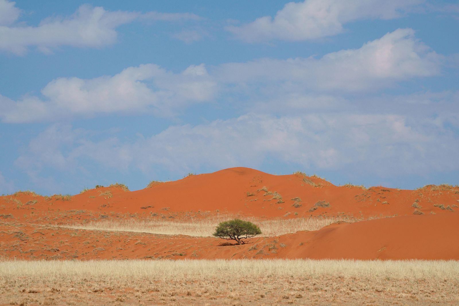 Acacia Tree Amid Dunes