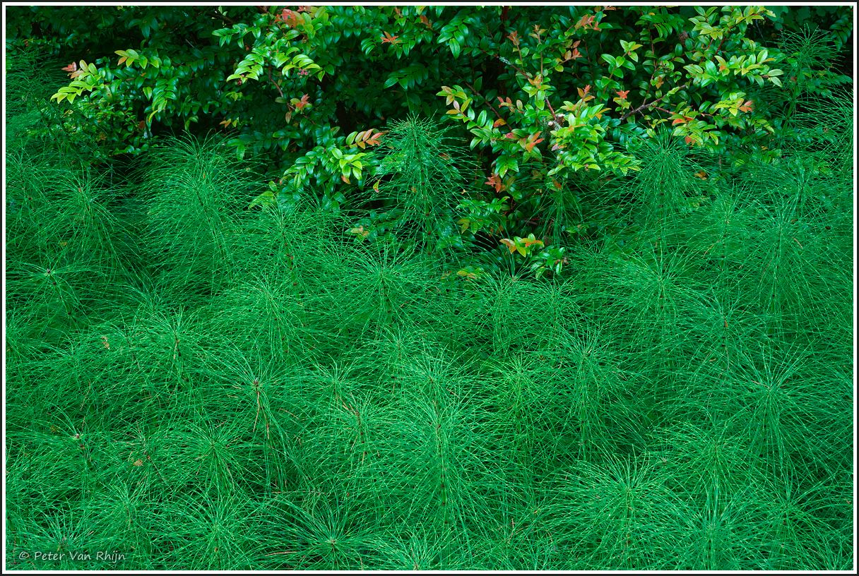 Horsetails and Huckleberry