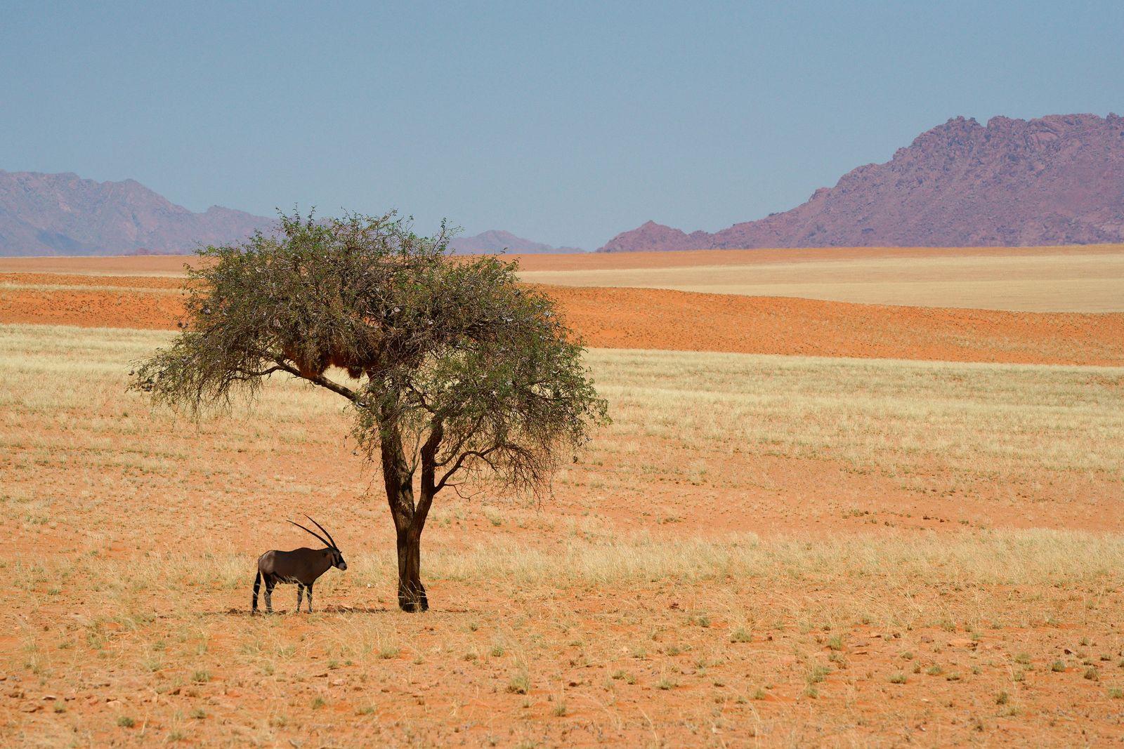 Cool Oryx