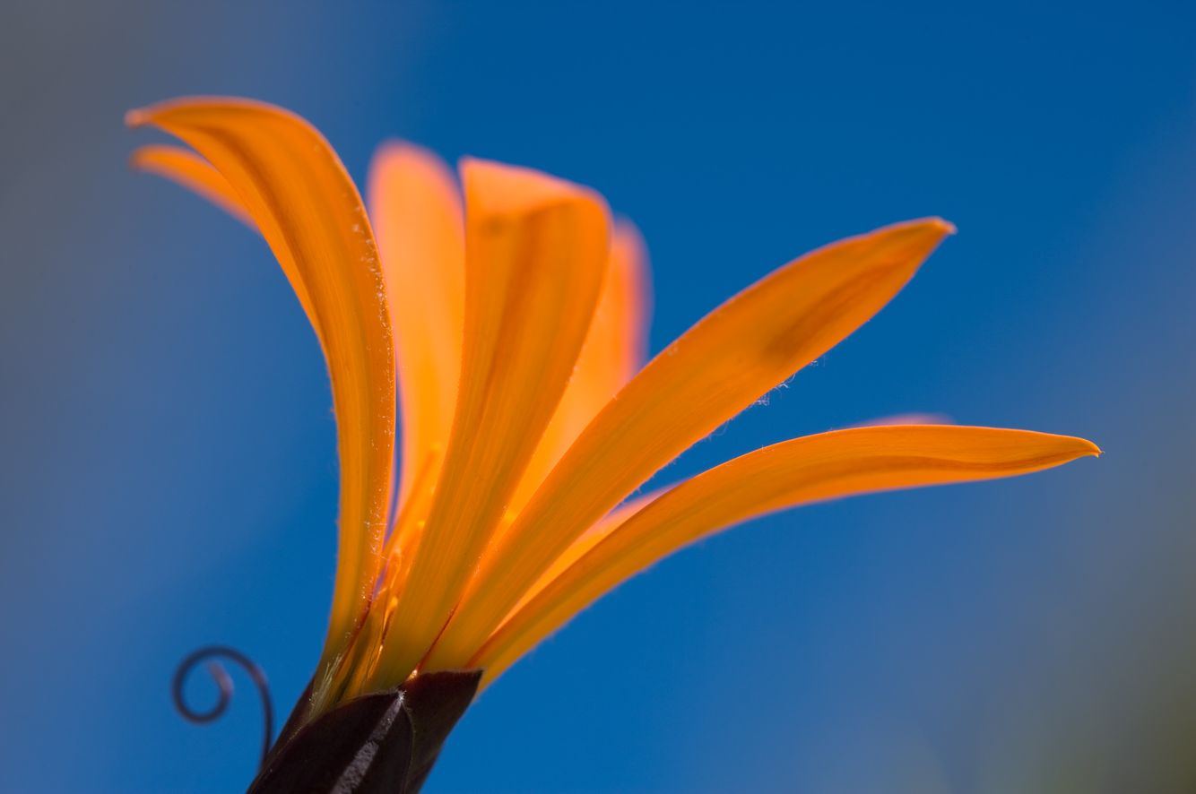 Metusia Naranja