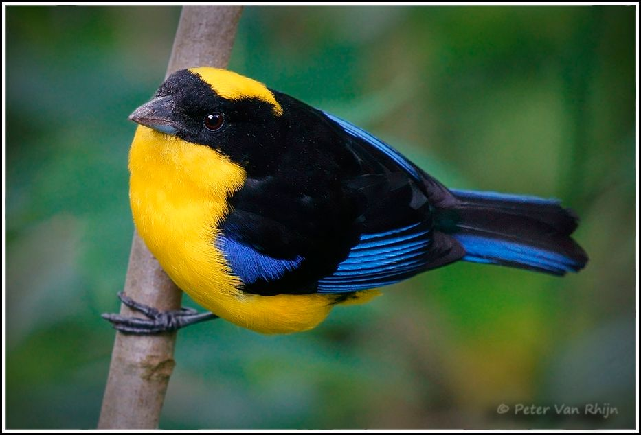 Blue-winged Mountain Tanager