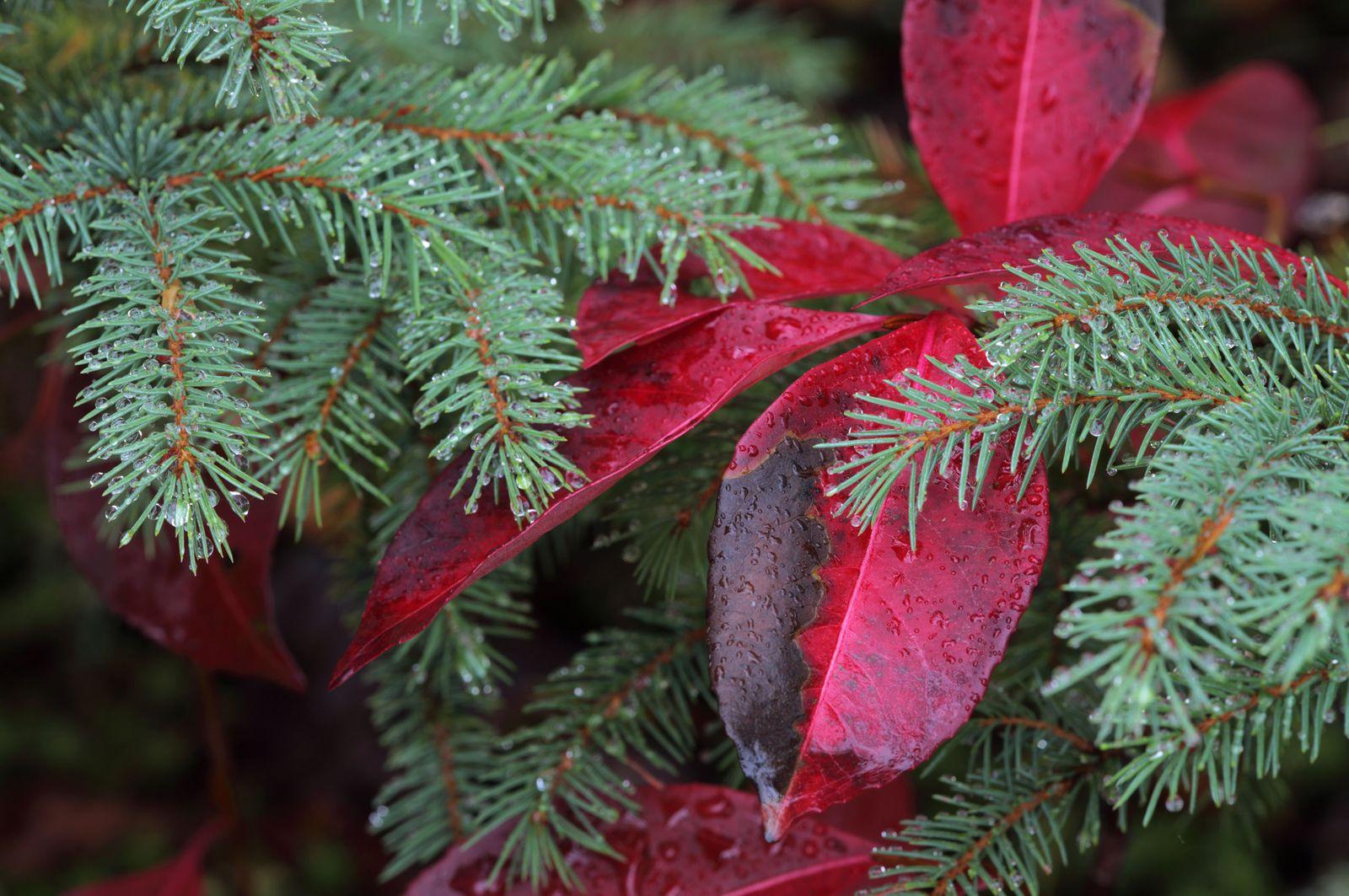 Spruce in Autumn