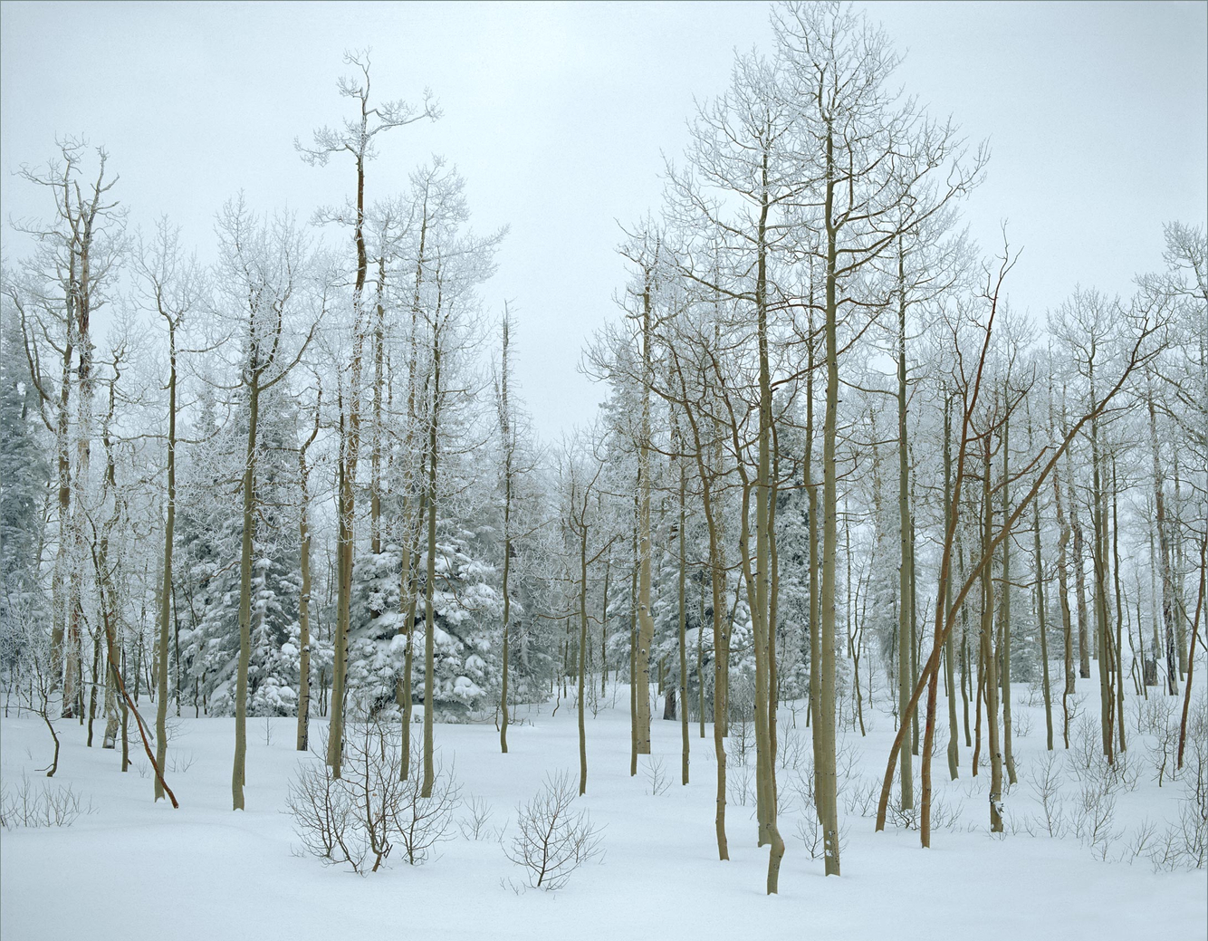 Aspen in Winter 1