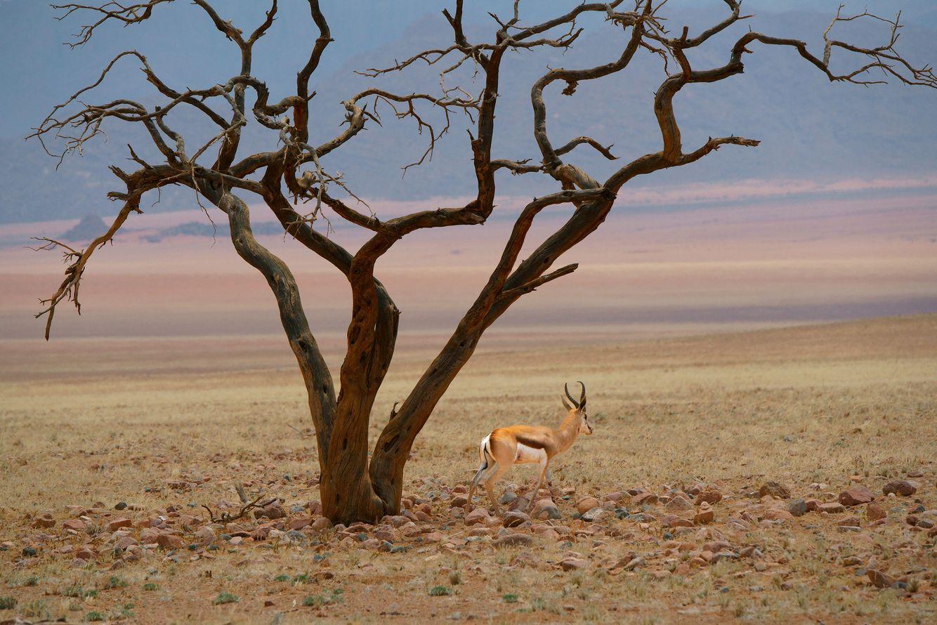 Springbok and Acacia
